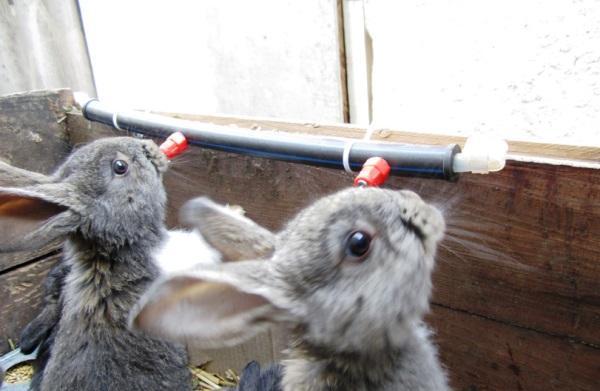 Ниппельные поилки для кроликов: как сделать, фото, видео, чертежи