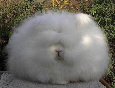 Ангорский кролик: карликовый, декоративный, фото, цена
