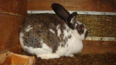 Признаки беременности крольчихи
