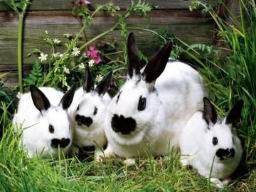 Беременность у кроликов продолжительность