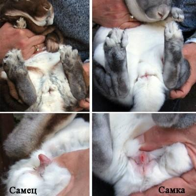 Как определить пол кролику в 1, 2, 3 месяца: видео, фото, у декоративного кролика