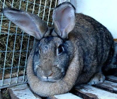 Кролики великаны разведение: выращивание, кормление, клетки
