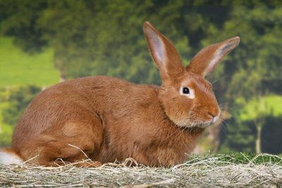 Burgundy Fawn Rabbit Laying On Hay