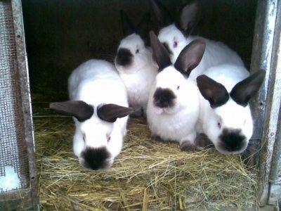 чиктоник инструкция по применению для кроликов - фото 7