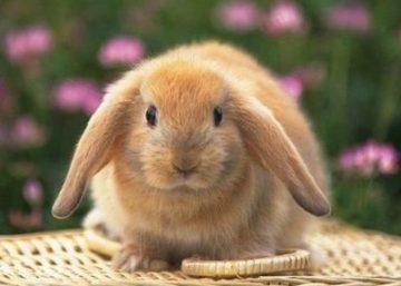 Сексуальный период у декоративного кролика