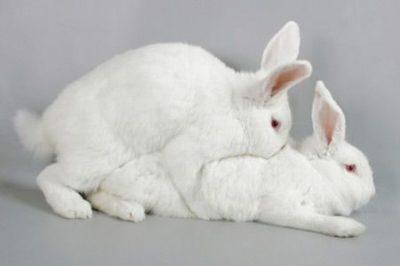 Как правильно случать кроликов для получения здорового потомства
