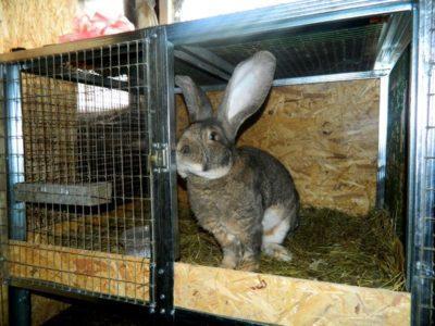 Кролик породы бельгийский фландр: основные характеристики