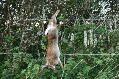 Как правильно и безболезненно забить кролика в домашних условиях?