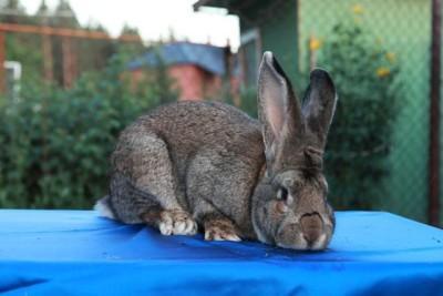 Самые крупные породы кроликов. Список самых больших кролов