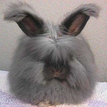 Уход и особенности разведения ангорского кролика