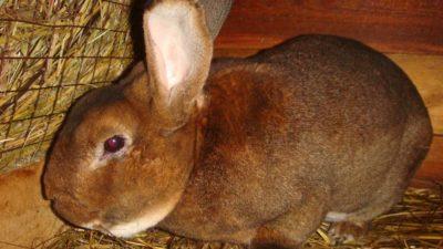 Как появляются глисты у кроликов и как с ними бороться?