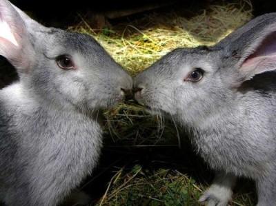 Особенности разведения кроликов великанов. Что нужно знать?