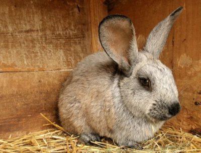 Разбираемся, сколько живет домашний кролик и как продлить его существование