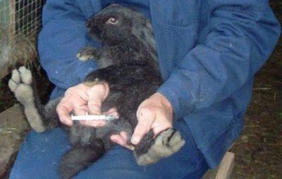 Какие делать прививки для кроликов, особенности и схемы