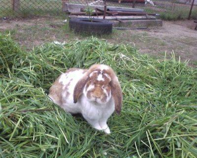 Разберем особенности породы кроликов французский баран