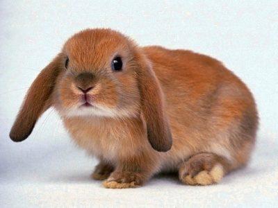 Все об уходе и содержании декоративного вислоухого кролика