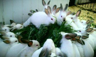 Что представляют собой кролики калифорнийцы