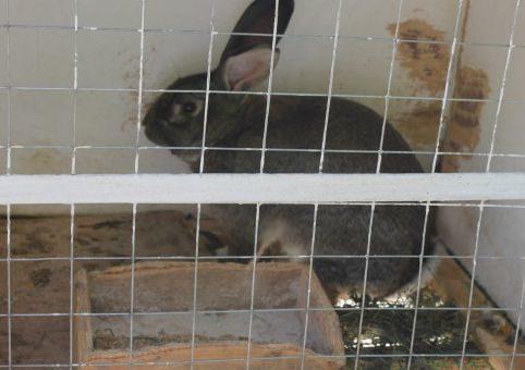 Что за болезнь миксоматоз у кроликов: как избежать злой недуг
