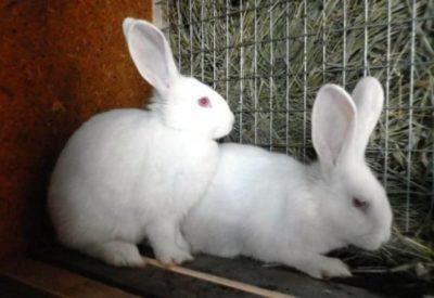 Необходима ли кастрация кроликов и как она проходит?
