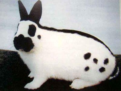 Необычные особенности и принципы содержания кроликов породы бабочка