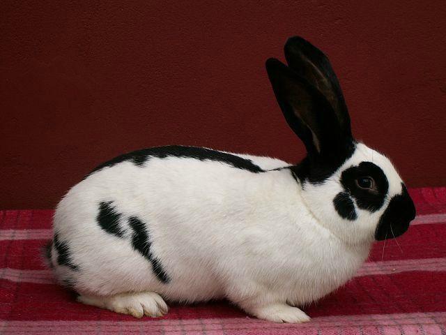 Какую породу кроликов наиболее выгодно выращивать в России? Основные подвиды кроликов