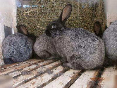 Особенности кролика породы Серебро: основные характеристики, принципы содержания и разведения