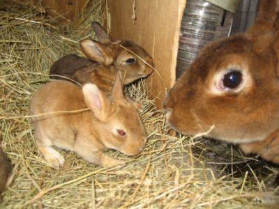 Как появились кролики породы рекс: разберем основные особенности и ценность породы