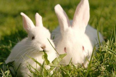 Принципы разведения кроликов по методу Михайлова: разбираем достоинства