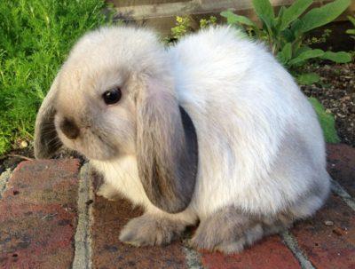 Узнаем какие бывают породы карликовых кроликов