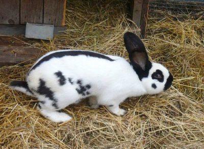 Необычная порода кролика немецкий пестрый великан (Строкач)