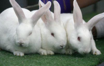 Что представляет собой белый новозеландский кролик: особенности ухода