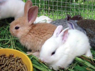 Как правильно кормить домашнего кролика