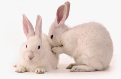 Откуда появляется насморк у кроликов: основные причины, методы профилактики и лечения