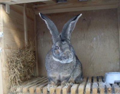 Разберем особенности кроликов такой породы как ризен