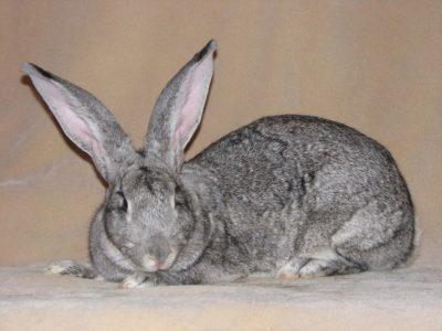 Рассмотрим основные характеристики кроликов породы советская шиншилла
