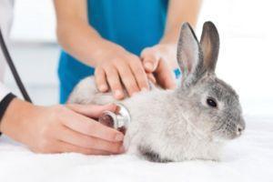Как проявляется ВГБК у кроликов:  основные симптомы, меры профилактики и особенности болезни