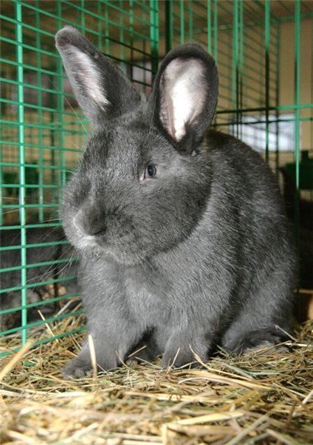 Что представляют собой кролики породы венские голубые: особенности ухода