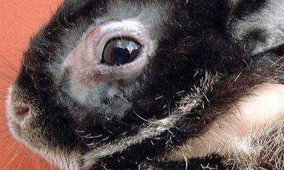 Рассмотрим опасную болезнь кроликов - Пастереллез