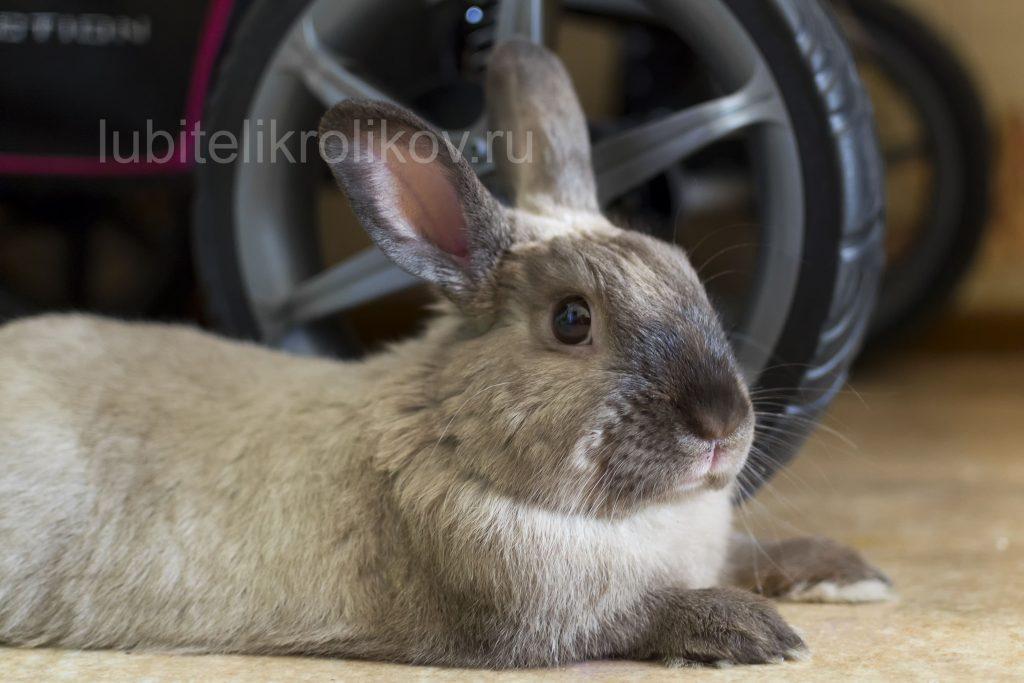 Декоративный кролик лежит