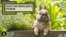 Какую траву можно давать кроликам - кролик в траве