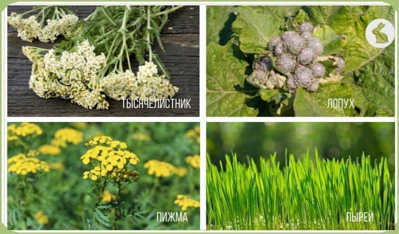Полезная трава для кроликов; тысячелистник, лопух, пижма, порей