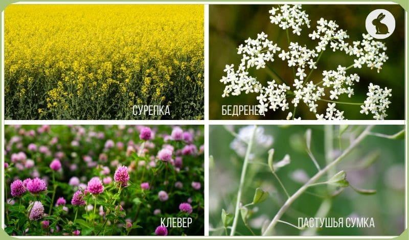 Трава для кормления кроликов полезная: сурепка, бедренец, клевер, пастушья сумка